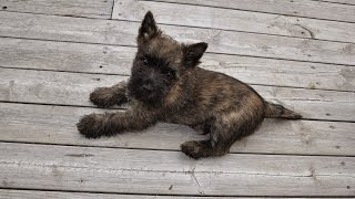The Funny Cairn Terrier Who Howls At Sirens