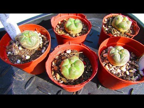 Re Potting My Lophophora Williamsii Cactus Seedlings - The Peyote Cacti