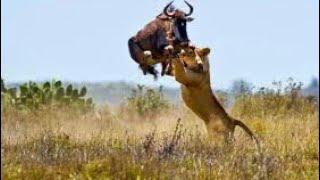 Охота льва и ягуара