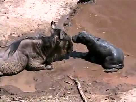 Lora Cain's Baby Hippo & Wildebeest   interview on Nat Geo Wild's Caught in the Act Travel Video