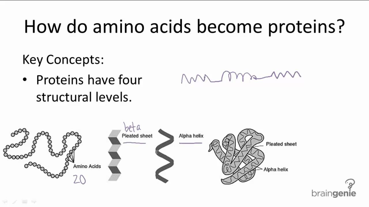 1.2.3 How do amino acids become proteins - YouTube