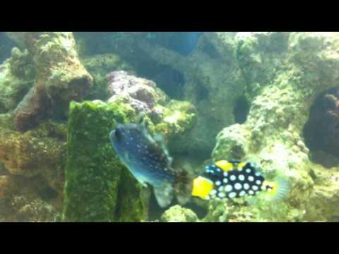 GoldenHeart Triggerfish, Clown Trigger, Rough Trigger, Liuetenant Tang, Chocolate Tang