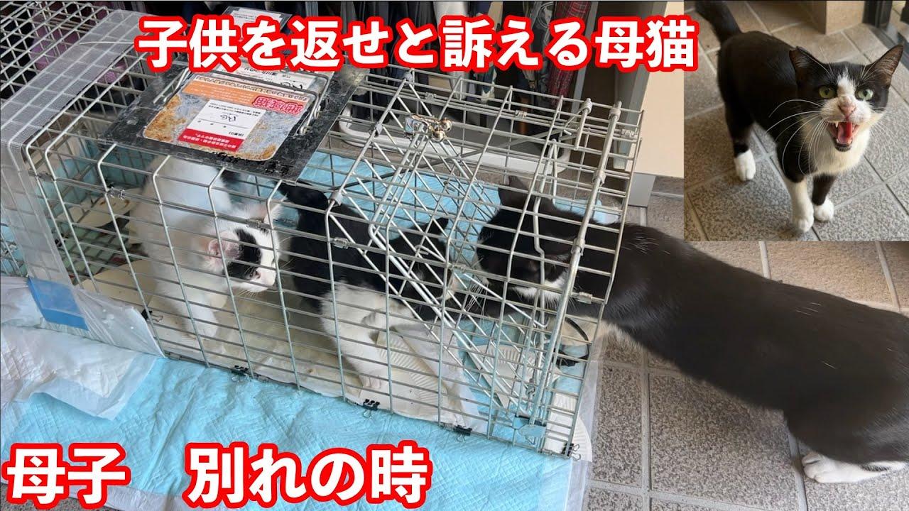 【子猫 保護】捕獲された子猫を心配した母猫が何度も駆け寄る