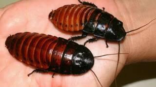 Worlds Biggest Cockroaches