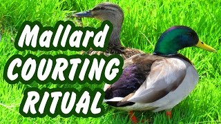 Beautiful Mallard duck courting and mating ritual