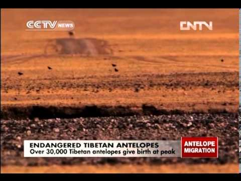 Over 30,000 Tibetan antelopes give birth at peak