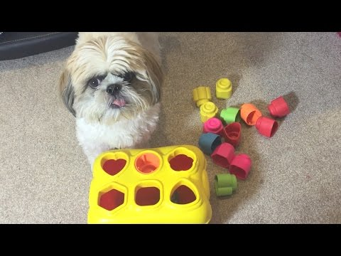 Derpy shih tzu doing smart tricks