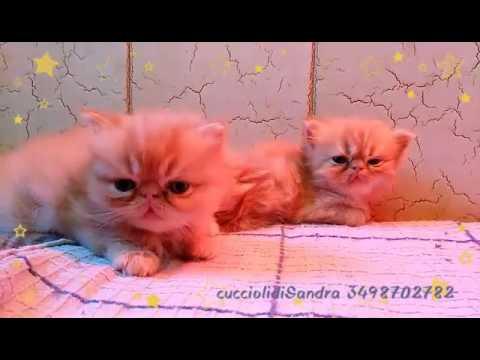 Piccoli Di Gatto Persiano Rosso Youtube