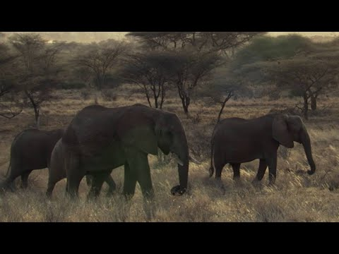 SHOCKING: Poachers Attack Wild Elephant in Kenya - This Wild Life  - BBC