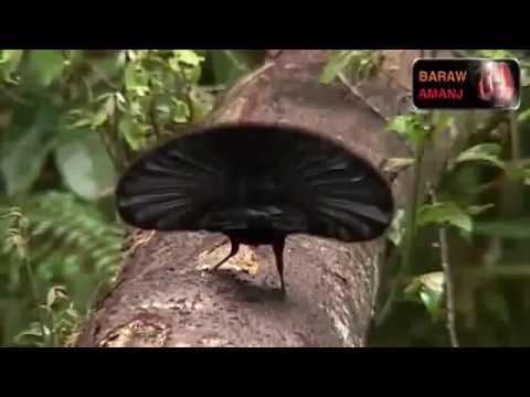 Burung Termahal Di Dunia Ada Di Papua