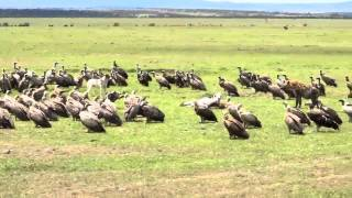 Dog vs Hyenas and Vultures in the Maasai Mara