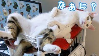 自分が猫だということを忘れた猫チロさん