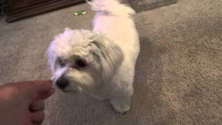 COTON DE TULEAR - ROWAN LEARNING TO SAY PRAYERS