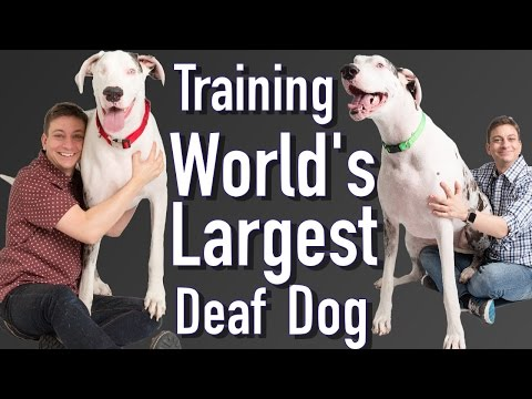 Training the World's Largest Deaf Dog!