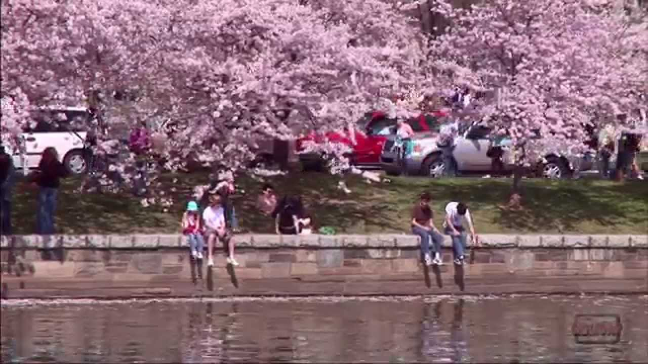 Cherry Blossom Festival In Washington Dc Youtube