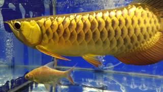 My Golden Arowana