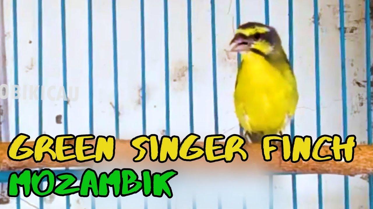 Green Singer Finch Song So Relaxing Finch De Canary Mocambique Bird Singing Canary Singer Birds Pajaros Bonitos Pajaros