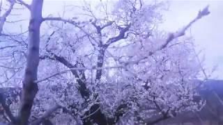 Baharın Gelişi Erik Çiçekleri
