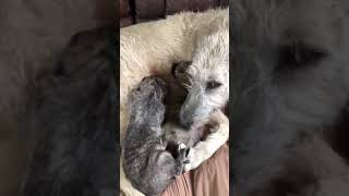 Irish Wolfhound nursing her pups