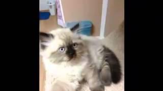 Persian and exotic short haired kittens! Персидские и экзотические короткошерстные котята!