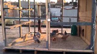 Pigeons in Brooklyn Wilson ave roof coop