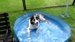 熱中症予防のため、フリスビー取ってはプールでクールダウンするオース...