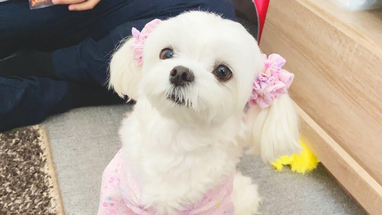 【ハンドメイド】パパの手作り浴衣で大変身した犬が劇的に可愛すぎました【マルチーズ】