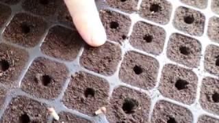 Как посадить семена перца на рассаду