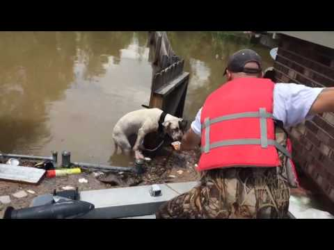 Pitbull rescued from LA floods