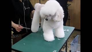 トリミングスクールの先生に犬のトリミングについて実演をしてもらいま...