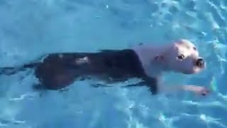 pup-told-not-to-jump-in-pool-jumps-in-immediately