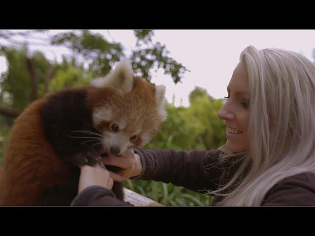 Red Panda Cub loses it over belly tickles
