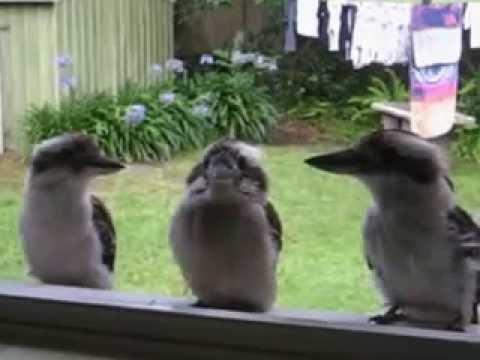 Kookaburras at the Kitchen Window