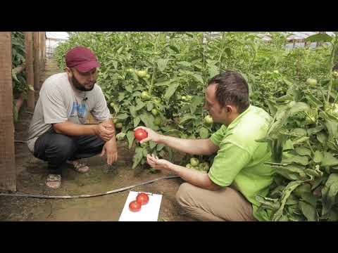 Поудетерминантный томат Вегго F1 в Астрахани 2018. | полудетерминантный | высокорослый | выращивание | удобрение | помидора | помидор | томата | ранний | томат | самый