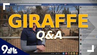 Denver Zoo hosts Q&A featuring Dobby the giraffe