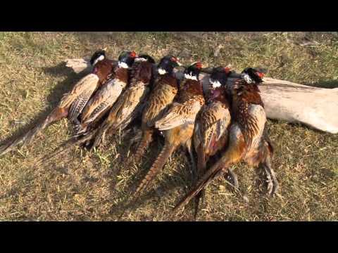 Awesome Pheasant Hunting South Dakota
