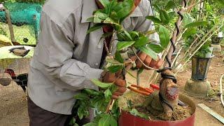 Kỹ thuật uốn mai bonsai khi cành quá to (Lê Quý bonsai )