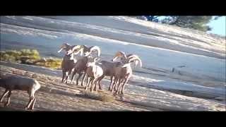 Taylor Eyre: Utah Bighorn Sheep
