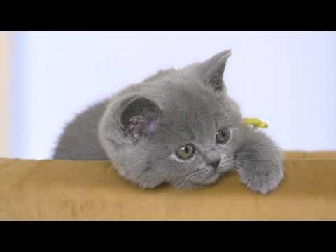 Британские котята в возрасте 7 недель (Litter- P2)