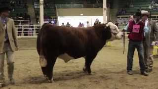 2014 National Western Stock Show Hereford Supreme Drive