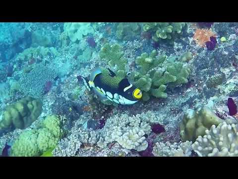 Clown Triggerfish, Fiji - Romancing The Globe Travel Blog