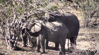 Djuma: Elephants feeding then come to drink - 15:21 - 11/13/18