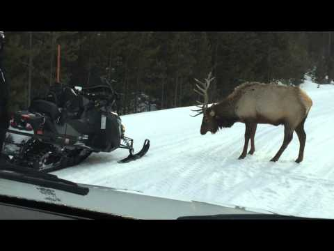 My Elk Encounter Yellowstone National Park