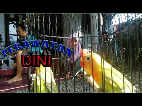 Tips Merawat Anakan Lovebird Umur 2–3 Bulan untuk lomba biar ngekek panjang l Breeders lovebird Indo
