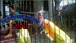 Video Tips Merawat Anakan Lovebird Umur 2–3 Bulan untuk lomba biar ngekek panjang l Breeders lovebird Indo download MP3, 3GP, MP4, WEBM, AVI, FLV November 2018