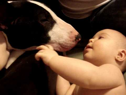 English Bull Terrier and Baby Girl