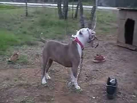 hqdefault Pitbull Dog 101