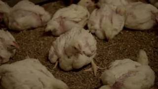 A Look Inside a UK Chicken Farm
