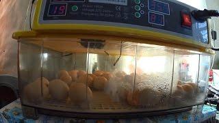 Вывод цыплят в инкубаторе JN8-48  // Китайское чудо