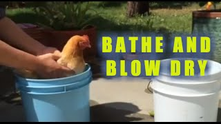 How To Bathe And Blow Dry Your Chicken (A Chicken Spa Treatment Special)